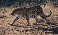 Wandering Leopard - Desert Leopard part 1